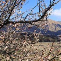 遅い春。梅の花開花。