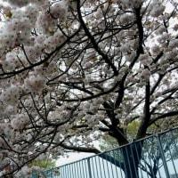 足立区 都市農業公園の八重桜