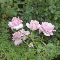 梅雨空に咲く2番花バラ、夏の宿根草