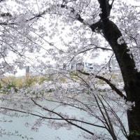 広島城で花見