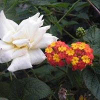 道辺のミゾソバと秋のバラ