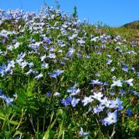 『花水川岸』 韮の花