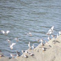 球磨川河口のシギ