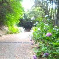 紫陽花便り~夏の広場~