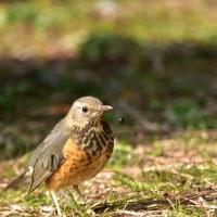 カラアカハラ・オオタカ(若鳥)・シロハラ・モズ   大泉緑地公園