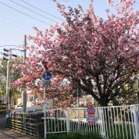 東川の八重桜