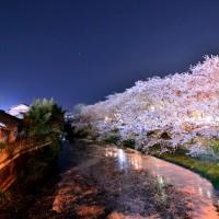 袋井用水の夜桜
