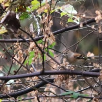 最近見た野鳥