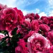 久米小百合(久保田早紀)さんの百万本のバラに感動する