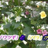 ウツギとバラが咲きました・・