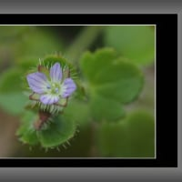 春を告げる小さな野草