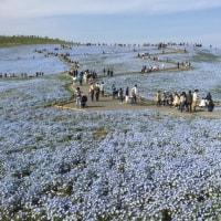 ネモフィラの丘~ひたち海浜公園