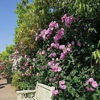 薔薇の季節【横浜イングリッシュガーデン】その2