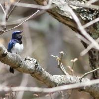 オオルリ, Blue-and-White Flycatcher