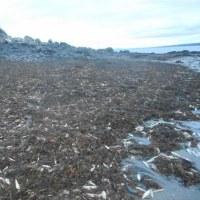 20,000尾もの魚が死んで打ち上げられた  カナダ