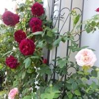 薔薇が続きます