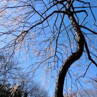 梅のある風景・・・枝垂れ梅他・・・
