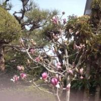 モクレンが咲き始めています