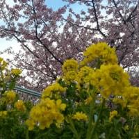 三浦海岸 桜まつり