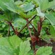 去年、初めて植えた赤のオクラ・・・。