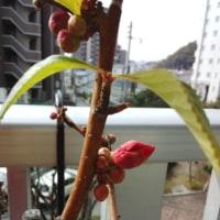 <ボケの花>春の息吹♪