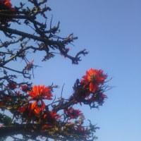 デイゴの開花