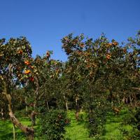 柿の実・こども植物園