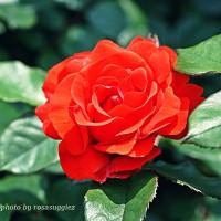 つるバラ  チンチン(乾杯)  朱赤のバラ