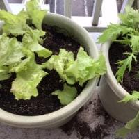 水菜とサニーレタス