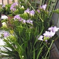 春の嵐。 ベランダの植木鉢は・・・
