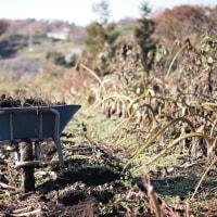 里芋の掘り出しと貯蔵、落ち葉拾いも開始。。。
