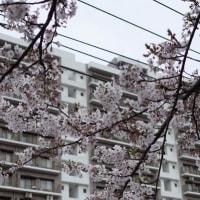 横浜・海軍道路の桜並木