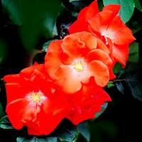 神代植物公園は、まだバラフェスタ中です。バラをどうぞ!