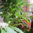 リノホーム福岡のコーヒーの木に可憐な花が咲きました