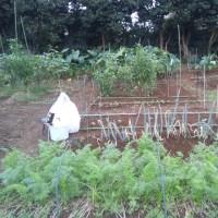 人参を収穫