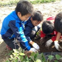 「親子で自然栽培のさつまいも収穫&収穫祭」無事終了!