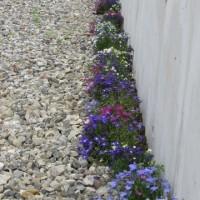 ロベリアの花道