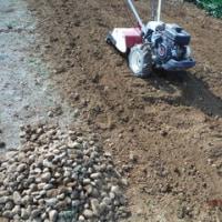 サトイモ種取りとスティックセニョールもう1通り定植