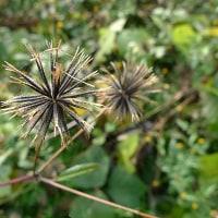 厄介な雑草の実