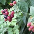 毎年収穫! ブラックベリー
