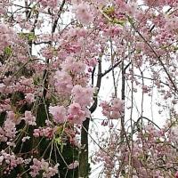 英国大使館、国立劇場、国会図書館の桜