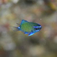 サクラダイ幼魚