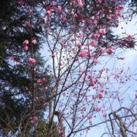 八重の梅の花です