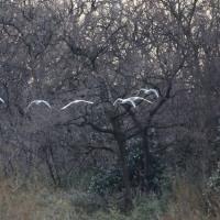 川島の白鳥(2月18日)