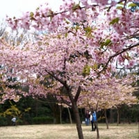 河津桜もそろそろ終わりですね