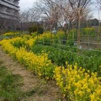 船橋・長津川親水公園の菜の花 (3/19)