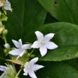 白い花のカンパニュラ・ポスキャルスキャナ