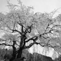 白黒枝垂れ