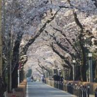 青山墓地の桜です