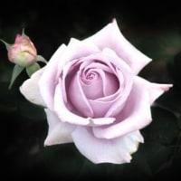 華麗な薔薇たち Ⅱ